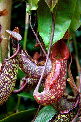 Carnivorous 1 